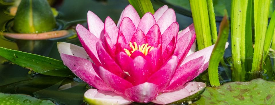 The lotus flower bearden behavioral health the meaning of the lotus flower mightylinksfo